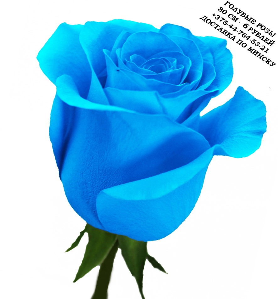 Blue%20rose%20%D0%93%D0%BE%D0%BB%D1%83%D