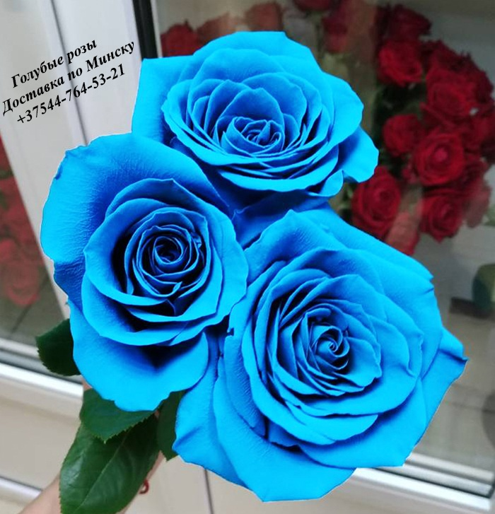 Blue%20rose%20%D0%B3%D0%BE%D0%BB%D1%83%D